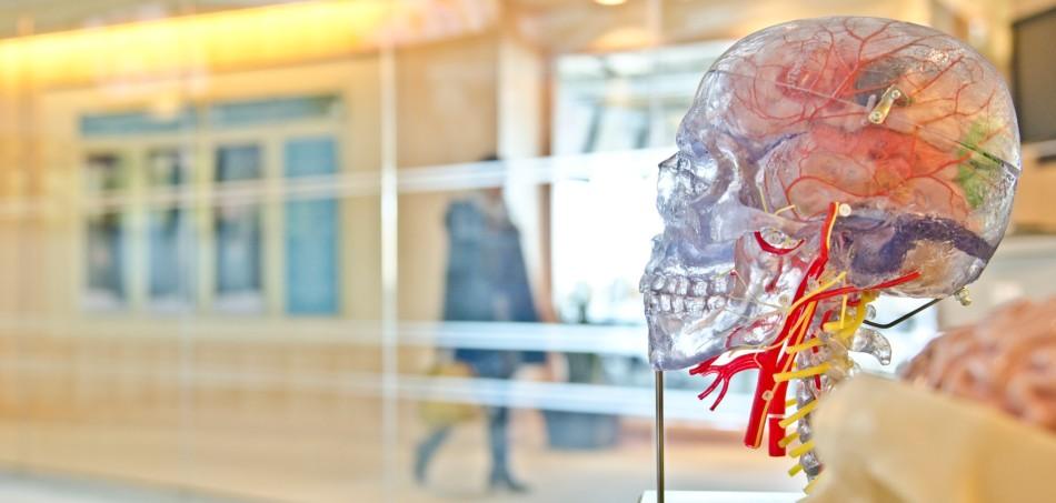 Transparent model of brain | Effects + Benefits of Modvigil, Modafinil